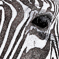 Zebra Portrait by Karl Addison