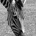 Zebra Portrait by Sabrina L Ryan