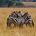 Zebra Protect Each Other by Janet Chung