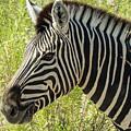 Zebra by Randy Green