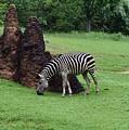 Zebra by Renee Sosanna Olson