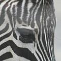 Zebra by Rob Cruise