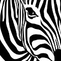 Zebra by Ron Magnes