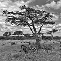 Zebra Running Through Savannah by Marc Holcroft