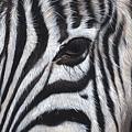 Zebra by Sarah Stribbling