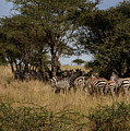 Zebra Seeking Shade by Joseph G Holland