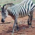 Zebra by Serah Mbii