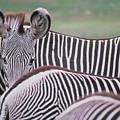 Zebra Stripes In Kenya by Carl Purcell