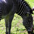 Zebra Stripes by Scott Hovind