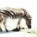 Zebra Stripes by Stephen Mitchell