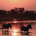 Zebra  Sunset 2  by Kay Brewer