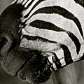 Zebra by Suzanne Morshead