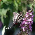 Zebra Swallowtail 1 by Pete Federico