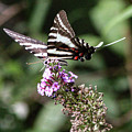 Zebra Swallowtail 2 by Pete Federico