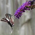 Zebra Swallowtail Butterfly 2 by Shannon Louder