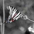 Zebra Swallowtail Butterfly 2016 by Karen Adams