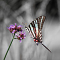 Zebra Swallowtail Butterfly And Stripes by Karen Adams
