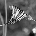 Zebra Swallowtail Butterfly Black And White by Karen Adams