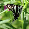 Zebra Swallowtail Butterfly In Green by Karen Adams