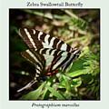 Zebra Swallowtail Butterfly by Kerri Farley