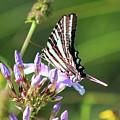 Zebra Swallowtail Butterfly On Phlox by Karen Adams