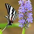 Zebra Swallowtail by Don Mercer