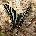 Zebra Swallowtail by Donna Brown
