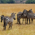 Zebra Togethering by Janet Chung
