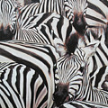 Zebra Triptyche Right by Leigh Banks