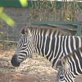 Zebra by Utpal Datta
