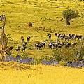 Zebra, Wildebeest And Giraffe by Bruce Thompson