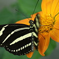 Zebra Wing Profile...   # by Rob Luzier