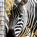 Zebra Zee by Amitabh Dayal