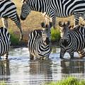 Zebra15 by Kathy Sidell
