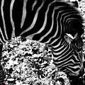 Zebra2 by September  Stone