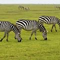 Zebra6 by Kathy Sidell