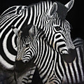 Zebras by Angie Cockle