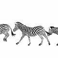 Zebras Dancing by Ramona Murdock