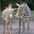 Zebras by Dart and Suze Humeston