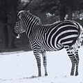 Zebra In Snow by Doc Braham