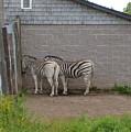 Zebras by Melissa Parks