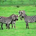 Zebras by Sebastian Musial