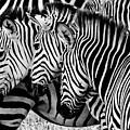 Zebras Triplets by John Piekos