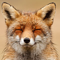 Zen Fox Red Fox Portrait by Roeselien Raimond