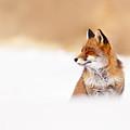 Zen Fox Series - Zen Fox In Winter Mood by Roeselien Raimond