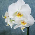 Zen White Orchid by Joy of Life Arts Gallery