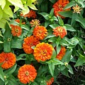 Zesty Zinnias by Maxine Billings