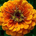 Zinnia At Frankenmuth by Norma Boeckler