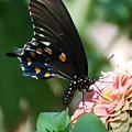 Zinnia Butterfly by Cheryl Fecht