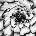 Zinnia Close Up In Black And White by Mark Kiver